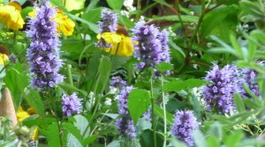 Best Agastache Blackadder
