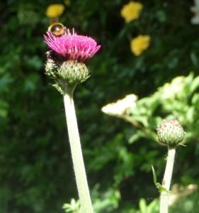 Bumblebee on Cirsium
