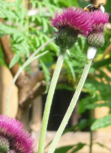 Bumblebees on Cirsium Rivulare thistle