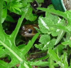 Cirsium rivulare 'Atropurpureum' foliage with frog