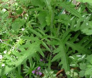 Cirsium rivulare foliage under potentilla