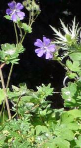 Hardy Geranium 'Philippe Vapelle', Eryngium
