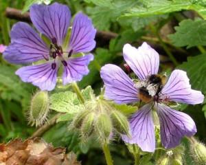 Hardy Geranium 'Philippe Vapelle' w Bumblebee June 2013