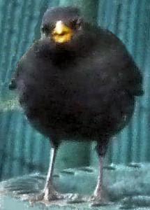 Blackbird touched up