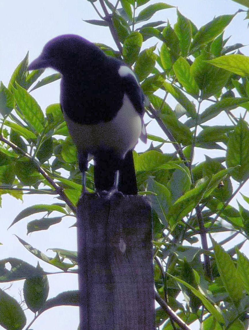 Magpies Highbury Wildlife Gardenhighbury Wildlife Garden