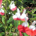 SALVIA X JAMENSIS